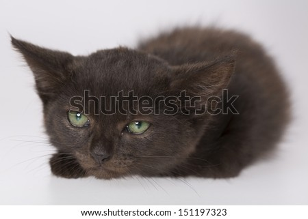 black kitten with white background