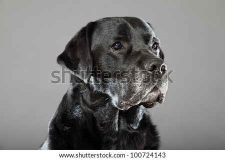 Black labrador dog isolated on grey background. Studio shot. Portrait of a cute pet.