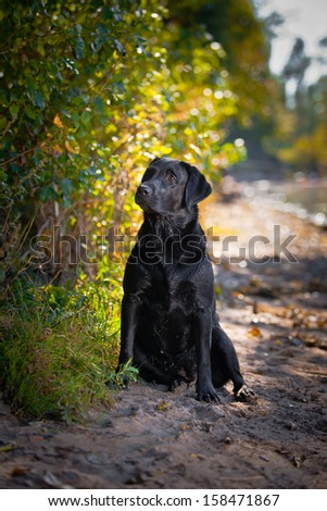 Russian Black Terrier Dog Stock Photo 541785244 - Shutterstock
