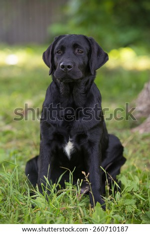 Black Labrador with a spot on the chest is sitting in the grass.