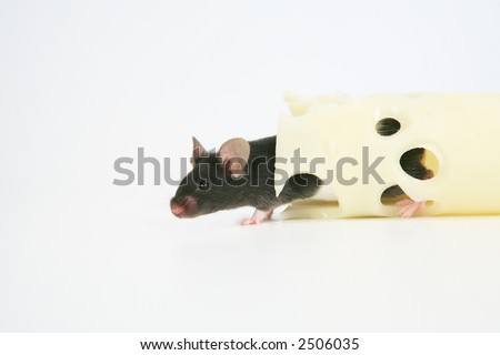 Black mouse with Swiss cheese