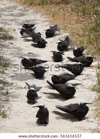 Black noddy or white-capped noddy  (Anous minutus) on the ground