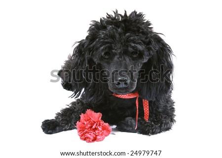 St Patricks Day Puppy All Ready Stock Photo 131548565 ...