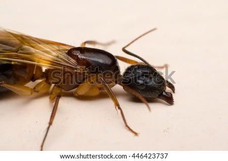 Queen black ant