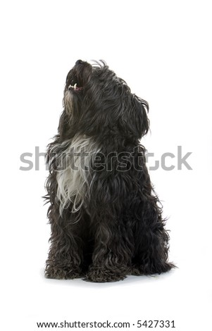 black small Sheepdog sitting down and looking up. isolated on a white background