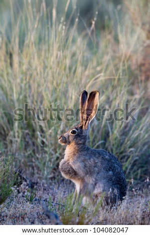 Black-tailed Jackrabbit at dawn at Sand Hollow State Park in Utah