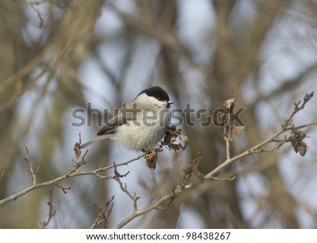 Black-Tit (Parus palustris) is sitting on a tree branch.