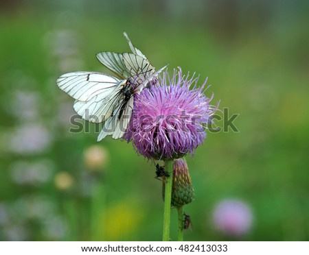 Black-veined whites butterfly -Aporia crataegi near lake Baikal,  Russia