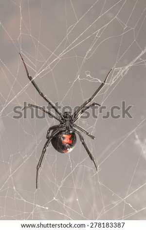 Black widow spider, a common venomous spider in North Carolina. Latrodectus mactans, Southern black widow spider. Ventral view of belly, red hourglass and spinneret.
