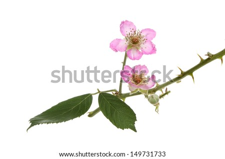 Blackberry, Rubus fruticosus, flowers leaves and thorns isolated against white