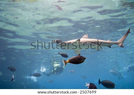 Blacktip Reef Shark (Carcharhinus melanopterus) swimming over reef, with skindivers in background.