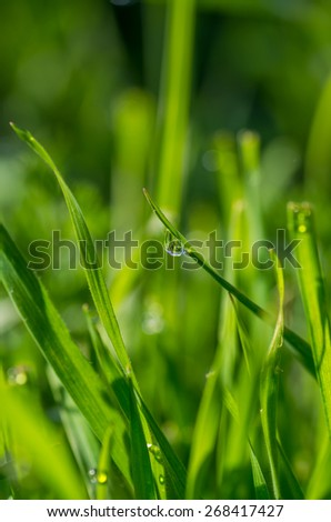 Blades of grass with water drops
