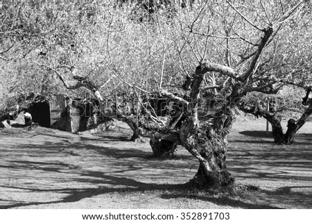 Blooming branch of apricot tree in black and white