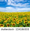 Blooming field of sunflowers on blue sky - stock photo