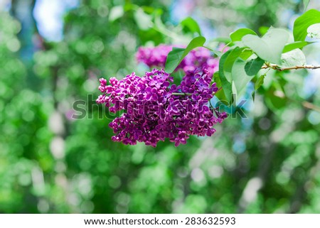 blooming lilac. Close-up beautiful lilac flowers with the leaves