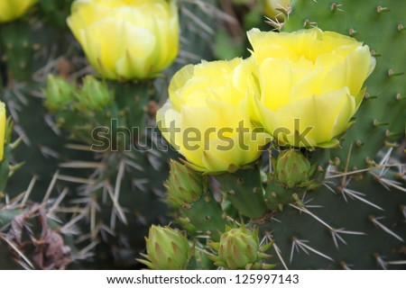 Blooming Prickly Pear or Paddle cactus with yellow flowers