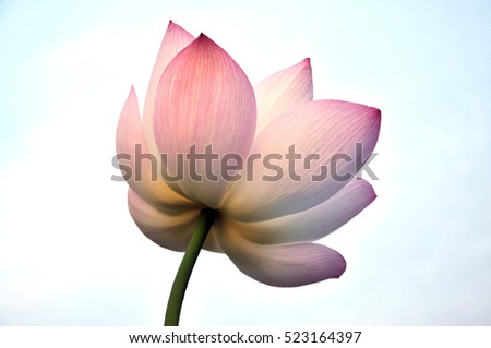 Blossom lotus flower in pond