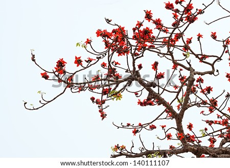 Blossom of the Red Silk Cotton Tree - The Latin name is Bombax Ceiba