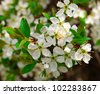 Blossoming flowers on the apple tree - stock photo