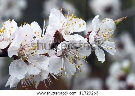 Blossoming twig of cherry-tree (on blossom tree background)