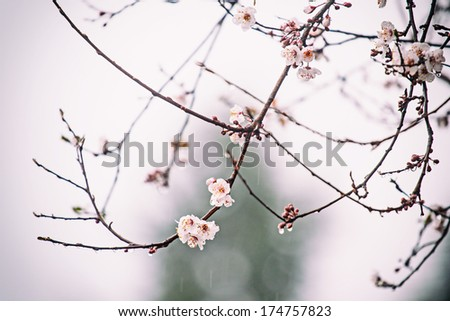 Blossoms in the rain
