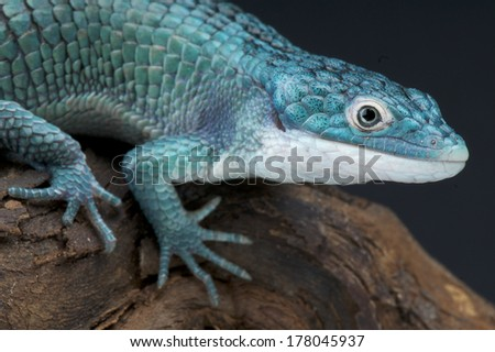Blue bromeliad alligator lizard / Abronia graminea
