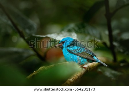 Blue Dacnis, Dacnis cayana, exotic tropic cute tanager with yellow leg, Costa Rica. Blue songbird in the nature habitat. Beautiful rare exotic tropic bird with yellow leg, Costa Rica.