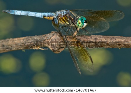 Blue Dasher Dragonfly perched on a stick.