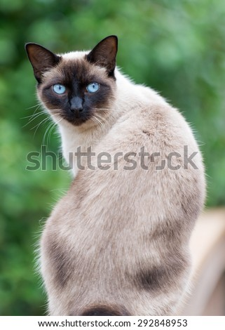 Blue Eyed Cat With Ring Tail