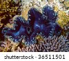 Blue Giant Clam, Athuruga, Ari Atoll, Maldives - stock photo