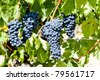 blue grape, La Rioja, Spain - stock photo