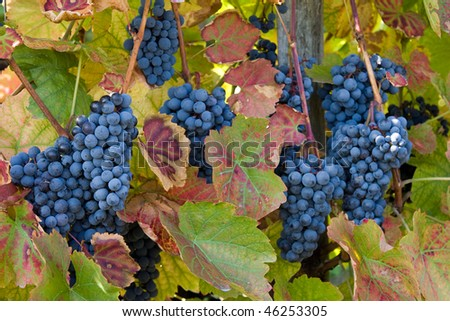 Blue grapes ready for harvest