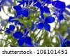Blue lobelia (Lobelia erinus) closeup, format filling - stock photo