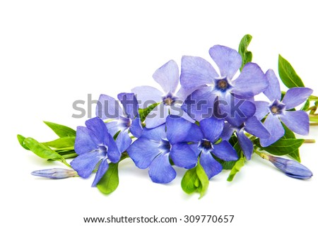 Blue Perwinkle flowers on a white  background