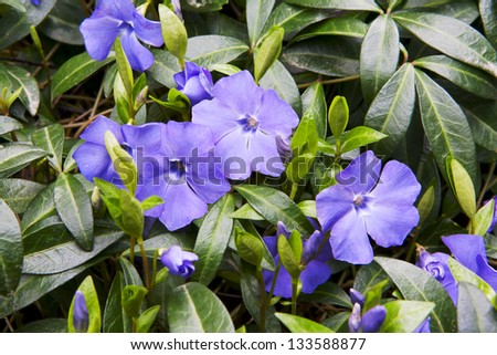 blue petunia blossoming flowers on green background