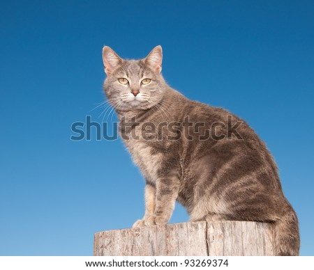 Blue tabby cat sitting on top of a log against clear blue sky looking