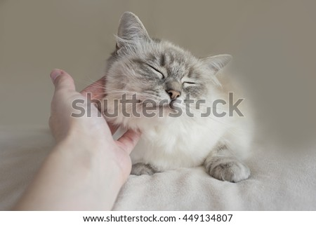 Blue Tabby Point Ragdoll Cat