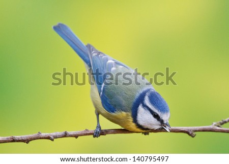 Blue tit, Parus caeruleus on a branch. Shallow depth of field and bakground blurred