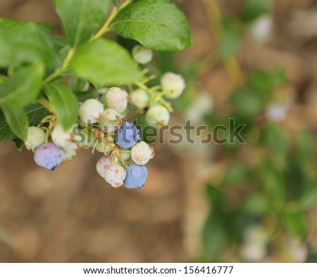 Blueberry bush with purple, blue and green berries. Organic home garden.