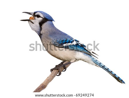 bluejay feasts on filberts and hazelnuts while perched on a branch. mouth fully opened with filbert visible as it slides down his throat. profile of bird taken on a white background.