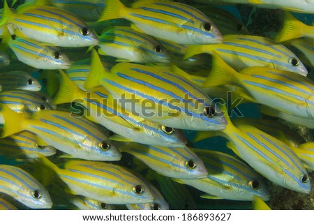 Bluestriped Snapper fish