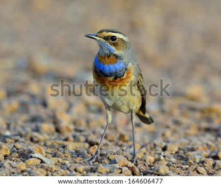 Bluethroat bird, beautiful blue bird with colorful on its neck standing on earth