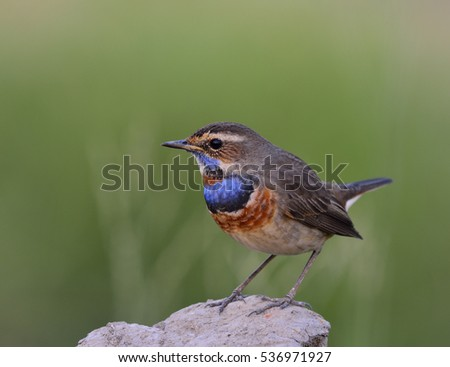 Bluethroat (Luscinia svecica) beautiful brown bird with blue and orange color on chest to chin standing on a dirt rock over green background in low lighting with front feathers profile, exotic nature