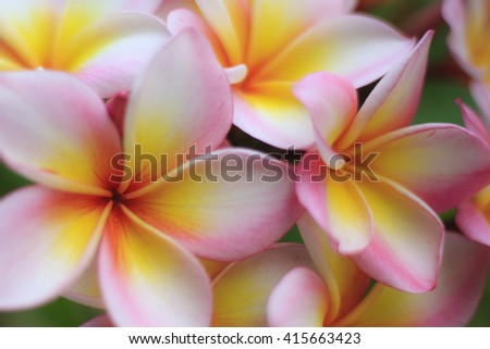 Blurred of Frangipani, Plumeria, Templetree, as a background.