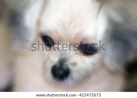 Blurred zoom of Dog so cute mixed breed with Shih-Tzu, Pomeranian and Poodle, zoom at face, Beige color