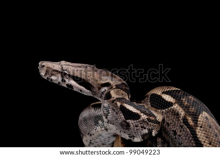 Boa constrictor on black  background