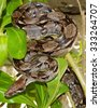 Boa Constrictor Snake hiding in a tree - stock photo