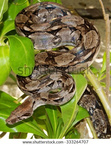 Boa Constrictor Snake hiding in a tree
