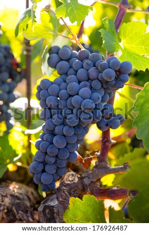 Bobal Wine grapes in vineyard raw ready for harvest in Mediterranean