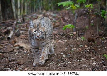 Bobcat (Lynx rufus) controls its territory against predators